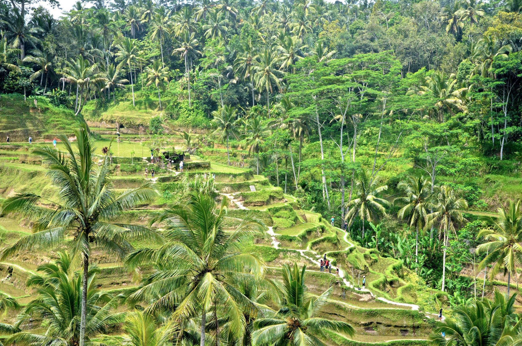 Die Reisterrassen von Tegalalang