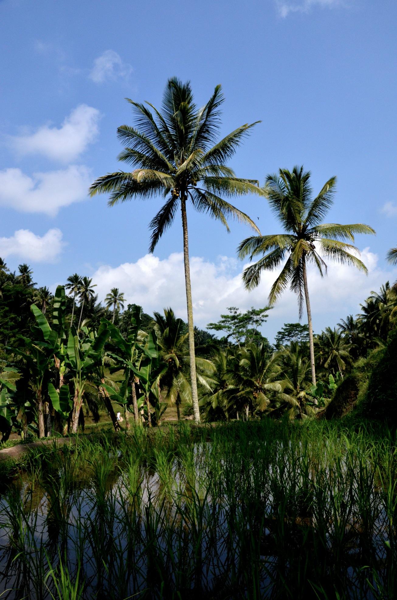 Reisplantage zwischen Palmen